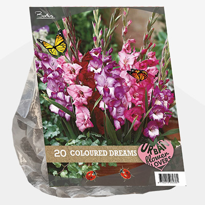 zwaardlelie Urban-Flowers-Selectie-(Gladiolus-Coloured-Dreams-per-20)