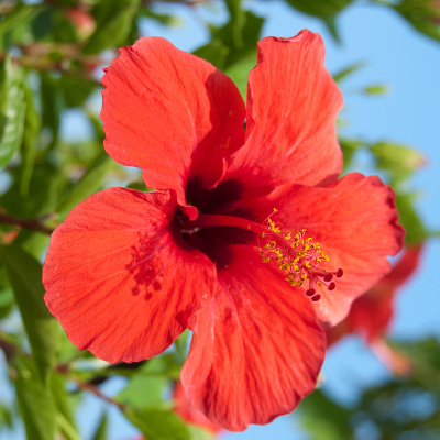 Chinese-roos-(Hibiscus-rosa-sinensis-Red)