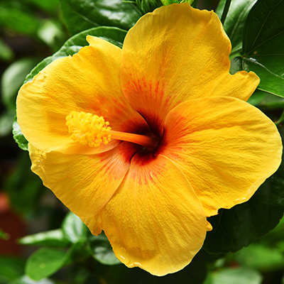 Chinese-roos-(Hibiscus-rosa-sinensis-Yellow)