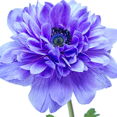 klaproos anemoon (Anemone-coronaria-Animo-Double-F1-Blue-Colours)