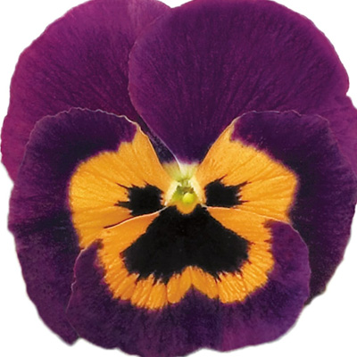 viooltje groot (Viola-x-wittrockiana-Carneval-Special-F1-Violet-and-Orange)